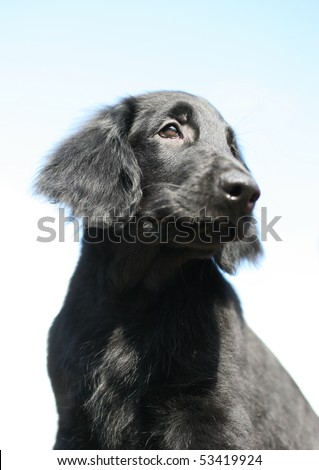 Flat-coated Retriever Puppy