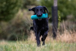 flat coated retriever, retriever, dog, black, running, dummy, training, portrait, defocused, photoshooting, jumping, flat, free space, fieldtrial, dummy training, animal, focus in the front, flats, bl