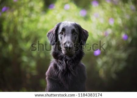 Flat Coated Retriever Sitting in a Field #1184383174