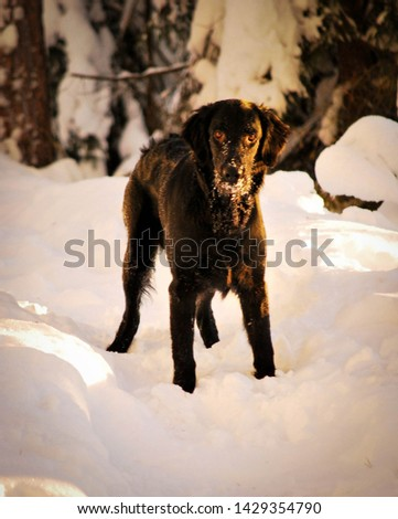 flat coated retriever standing in snowy forest  #1429354790