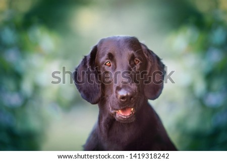 Flat coated retriever sweet and cute portrait in park, green background. Looking, mouth open, tongue showing, ears alert, obedient, green color and flowers in the background, happy dog #1419318242