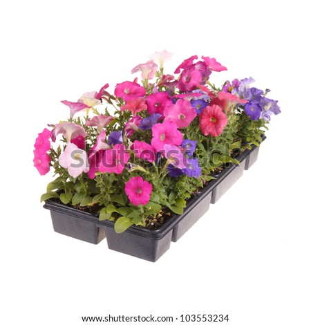 Flat containing seedlings of petunia plants flowering in multiple colors ready for transplanting into a home garden isolated against a white background