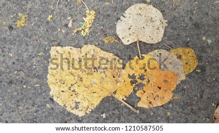 Flat dry crumbling leaves on rough asphalt road. Dirty dusty yellow discolored fall leaves closeup. Grunge fall background. Dramatic fall season. Autumnal foliage fading into pieces.