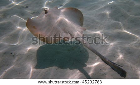 Flat fish flying above the sand 1