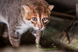 Flat-headed cat(Prionailurus planiceps)
