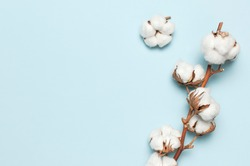 Flat lay Beautiful cotton branch on blue background top view copy space. Delicate white cotton flowers. Light color cotton background. Cotton production