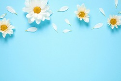 Flat lay composition with beautiful chamomile flowers on blue background. Space for text