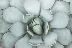 flat lay of blue succulent plant with thorn in garden
