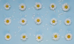 Flat lay spring or summer chamomile on light blue background. Daisy flowers with scattered petals, top view. Heads of Blooming Bellis flowers, floral card for Womens, Mothers day, springtime concept.