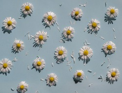 Flat lay spring or summer chamomile on light blue background in sunny day. Daisy flowers with scattered petals, top view. Heads of Blooming Bellis flowers, floral card for Womens, Mothers day.