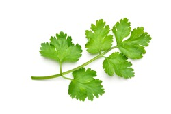 Flat lay (Top view) of fresh coriander leaves isolated on white background.