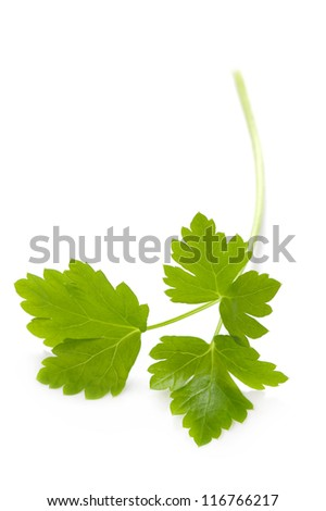 flat leaf parsley close up isolated on white background