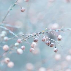 Flax after flowering (Linum austriacum)