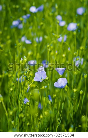 Flax (aka linseed) flowers shot in the field. Used to make linen (Linum usitatissimum)