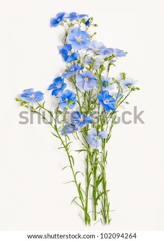 flax, flower - stock photo