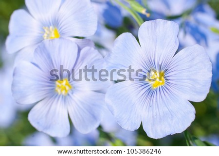 Flax flowers close up on the field