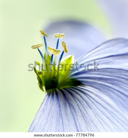 Flax flowers close up on the field. Macro