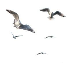 flaying seagulls