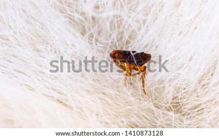 Flea in animal fur close up. The destruction of parasites in pets.