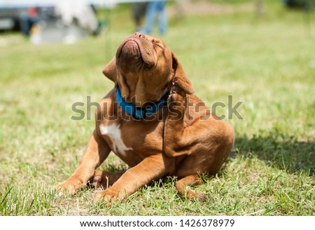 Fleas Attack. Dogue de Bordeaux puppy scratching