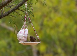 Fledgling House Finch Perched on a Pretty Pink Teacup Bird Feeder with Beads Hanging in a Mesquite Tree in West Texas