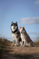 Fleecy couple of siberian husky breed dogs sitting on the ground on a hill in good summer weather