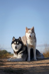Fleecy couple of siberian husky breed dogs together in a tender pose by a clear summer sky
