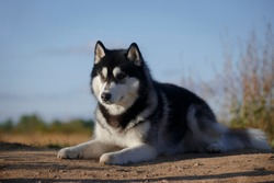 Fleecy grey and white dog of siberian husky breed laying on the ground by the grass and summer sky