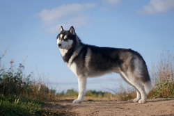 Fleecy grey and white male dog of siberian husky breed standing on a hill in summer
