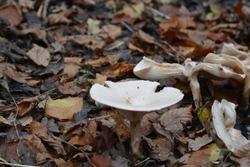 Fleecy milk-cap (Lactifluus vellereus)  mushrooms growing in the forest around wet fallen leaves.