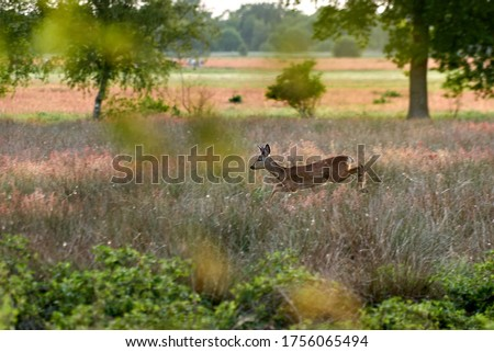 fleeing roebuck jumps through high grass on a natural meadow on a sunny summer evening - sharp head, body in motion Stockfoto ©