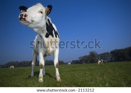 flemish cow in the field with blue sky