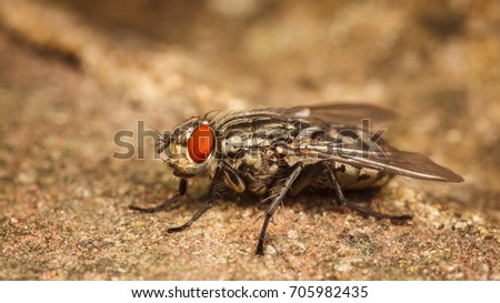 Flesh-Fly, Sarcophigae  #705982435