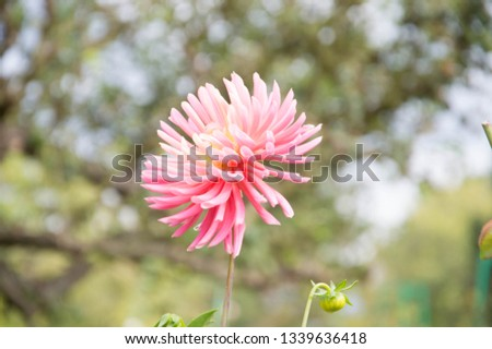 Beautiful Flower Background Pink Dahlia Flower In The