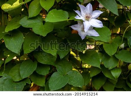 Fleurs de Clématites de ton blanc (Clematis patens). Two white flowers on green background create natural leaves pattern for copy space. Summer time. Decorative green foliage vertical hedge. Stok fotoğraf ©
