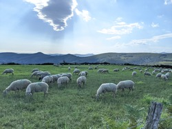 Flickr of sheeps grazing in a meadow