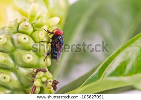 flies are eating noni fruit