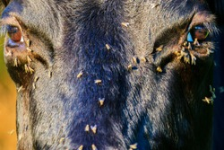 flies crawl into the eye to the cows in the summer heat