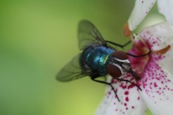 Flies on leaves and flower doing the pollination