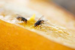 Flies to eat mango fruit.