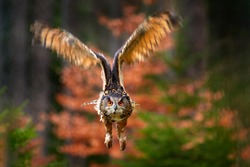 Flight in forest. Eurasian Eagle Owl, Bubo Bubo, sitting on the tree trunk, wildlife photo in the forest with orange autumn colours, Germany. Bird in the forest, first snow in wildlife nature.