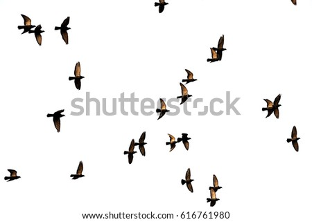 Flight of birds in the wild. Silhouette. Free. Freedom\n