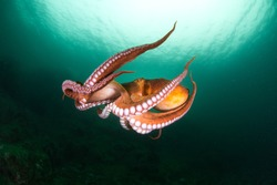 flight of octopus in the deep ocean