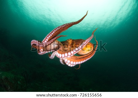 flight of octopus in the deep ocean
