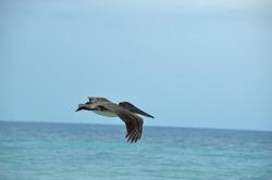 Flight sequence of a Brown pelican (Pelecanus occidentalis). Sea bird fishing for food in Cayo Coco, Cuba.