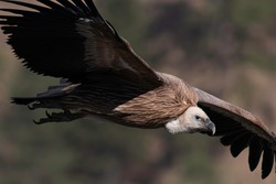 Flight time for griffon vulture