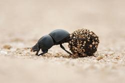 Flightless Dung Beetle, Circellium bacchus, roll dung ball, Addo Elephant National Park, South Africa