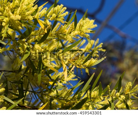 Flinders Range Wattle Acacia Iteaphylla Widely Cultivated In The