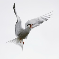 Flit Tern / The Common Tern is a seabird of the tern family Sternidae. This bird has a circumpolar distribution breeding in temperate and sub-Arctic regions of Europe, Asia and east and America.