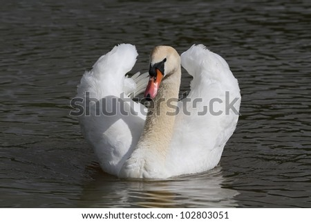 Floating a swan
